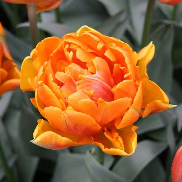 Tulipe Double Orange Princess