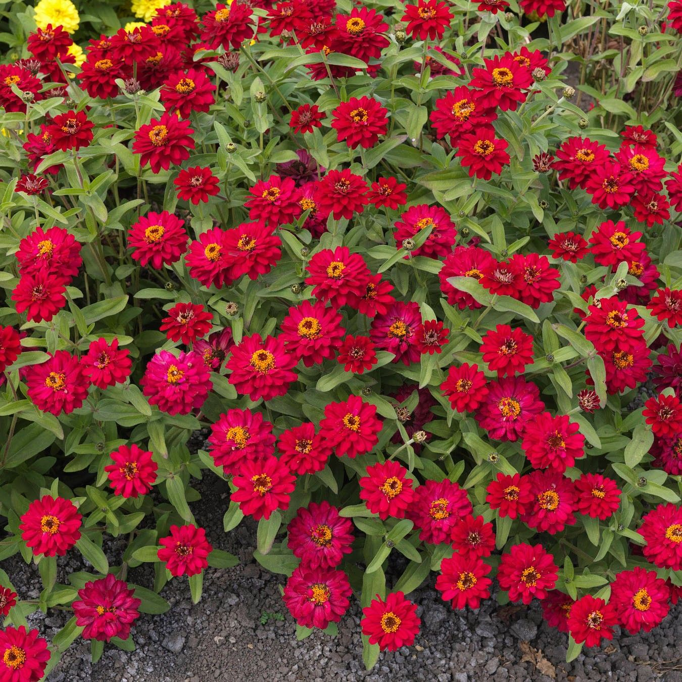 Zinnia Profusion Double Hot Cherry - Zinnia hybride double