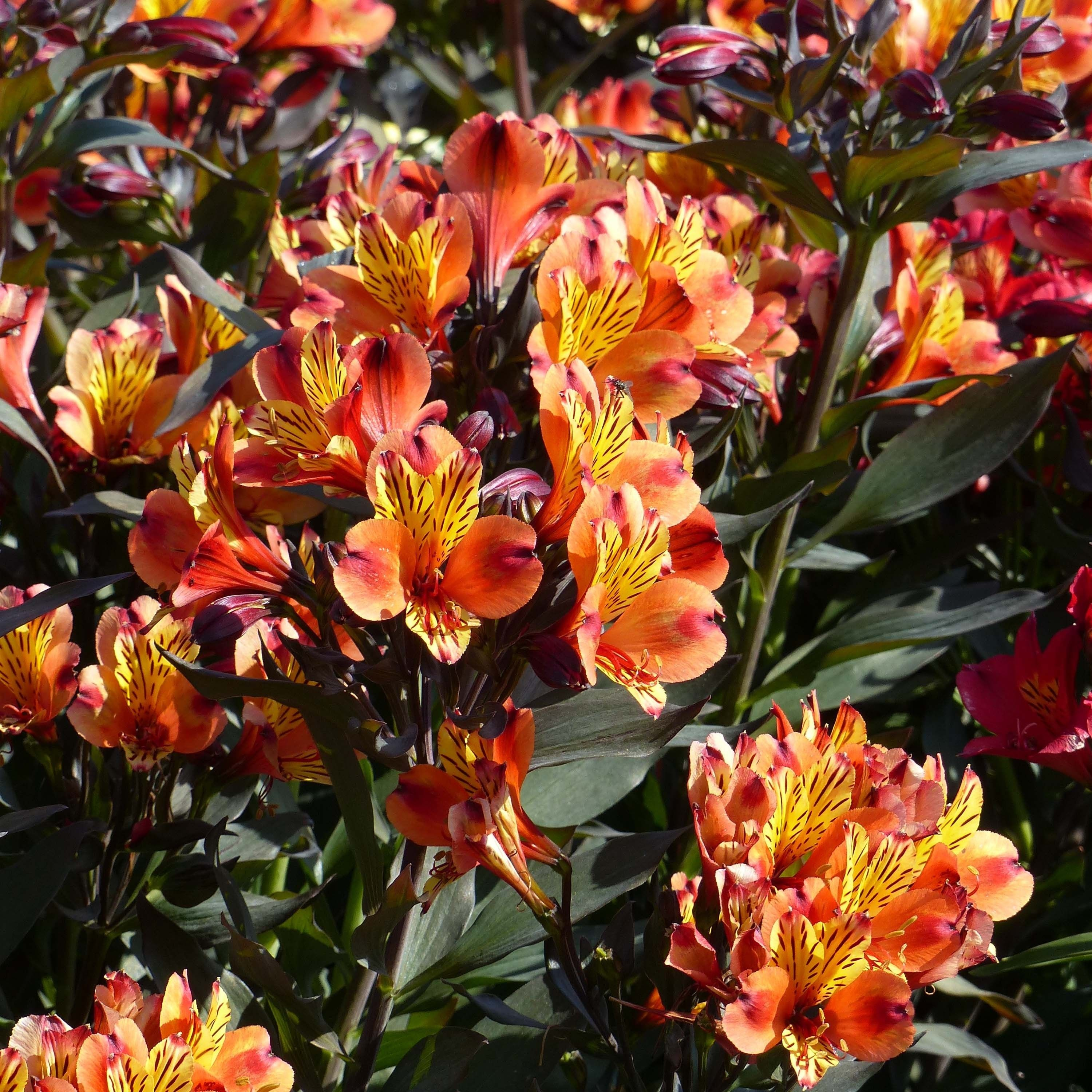 Alstroemeria Indian Summer - Lis des Incas