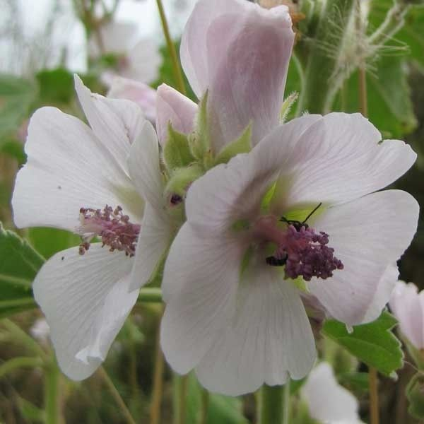 Guimauve officinale - Althaea officinalis