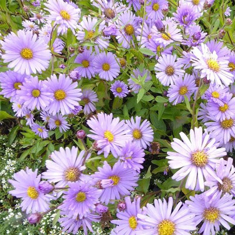 Aster Bart's Blue Beauty - Aster d'automne