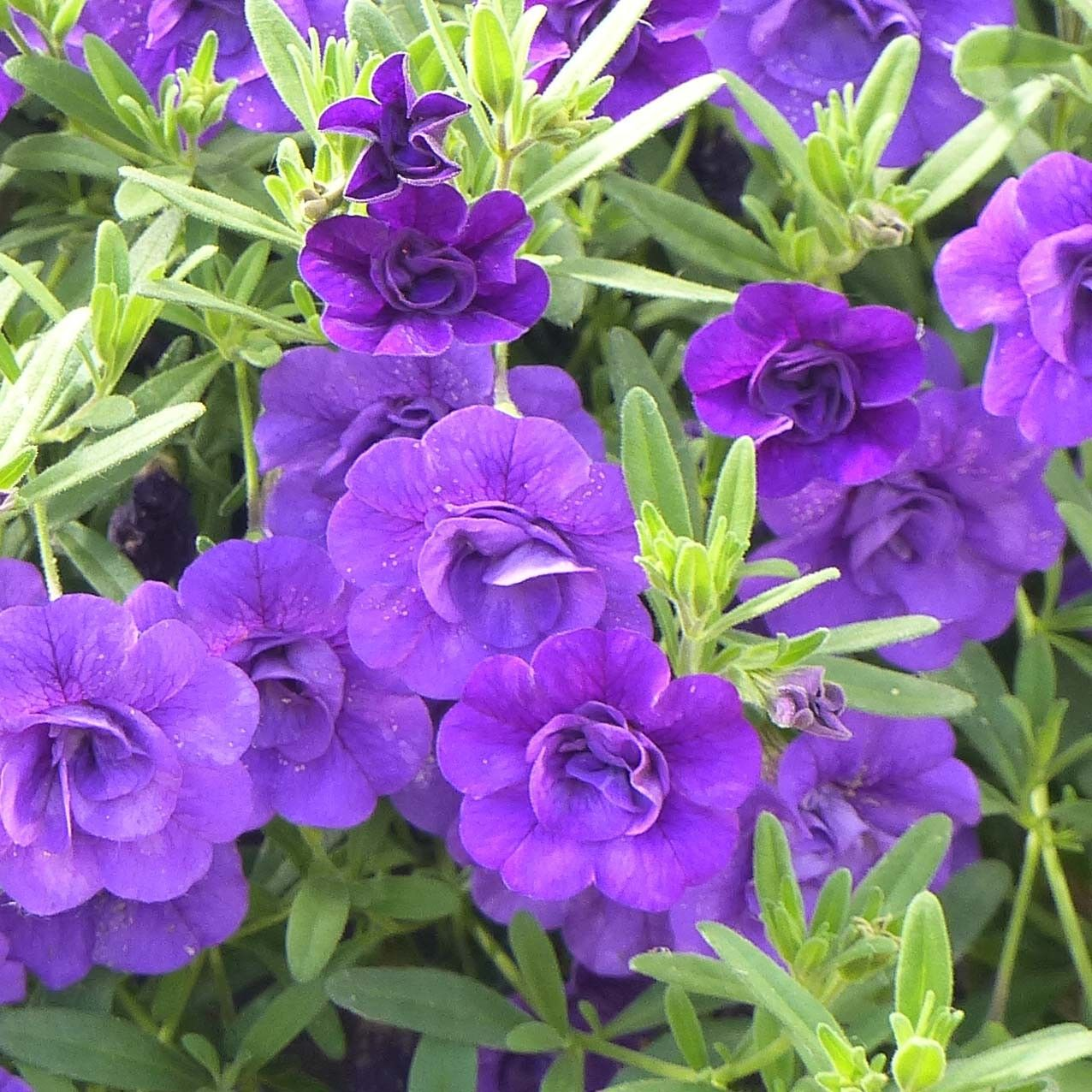 Calibrachoa Can-Can Rosies Blue - Mini-pétunia double