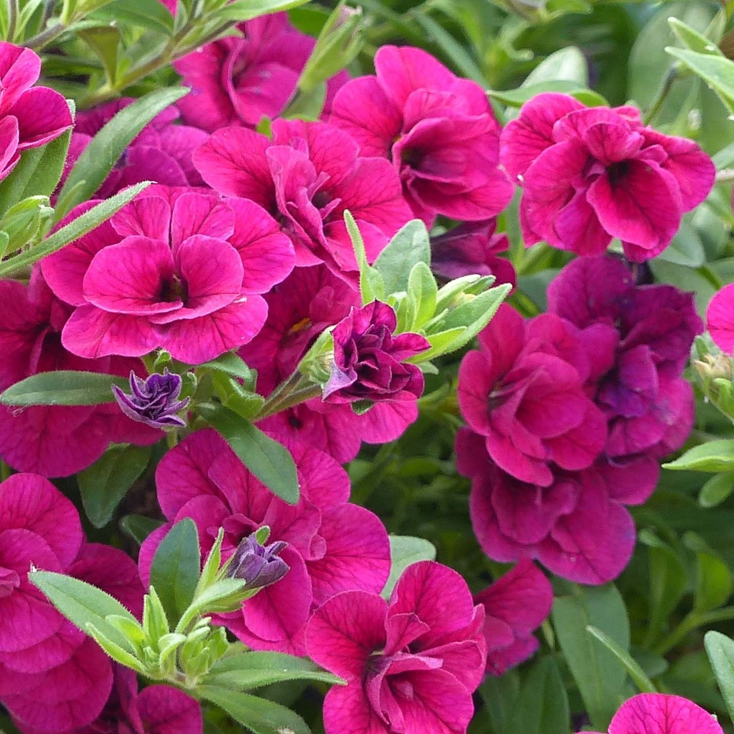 Calibrachoa Can-Can Rosies Magenta - Mini-pétunia double