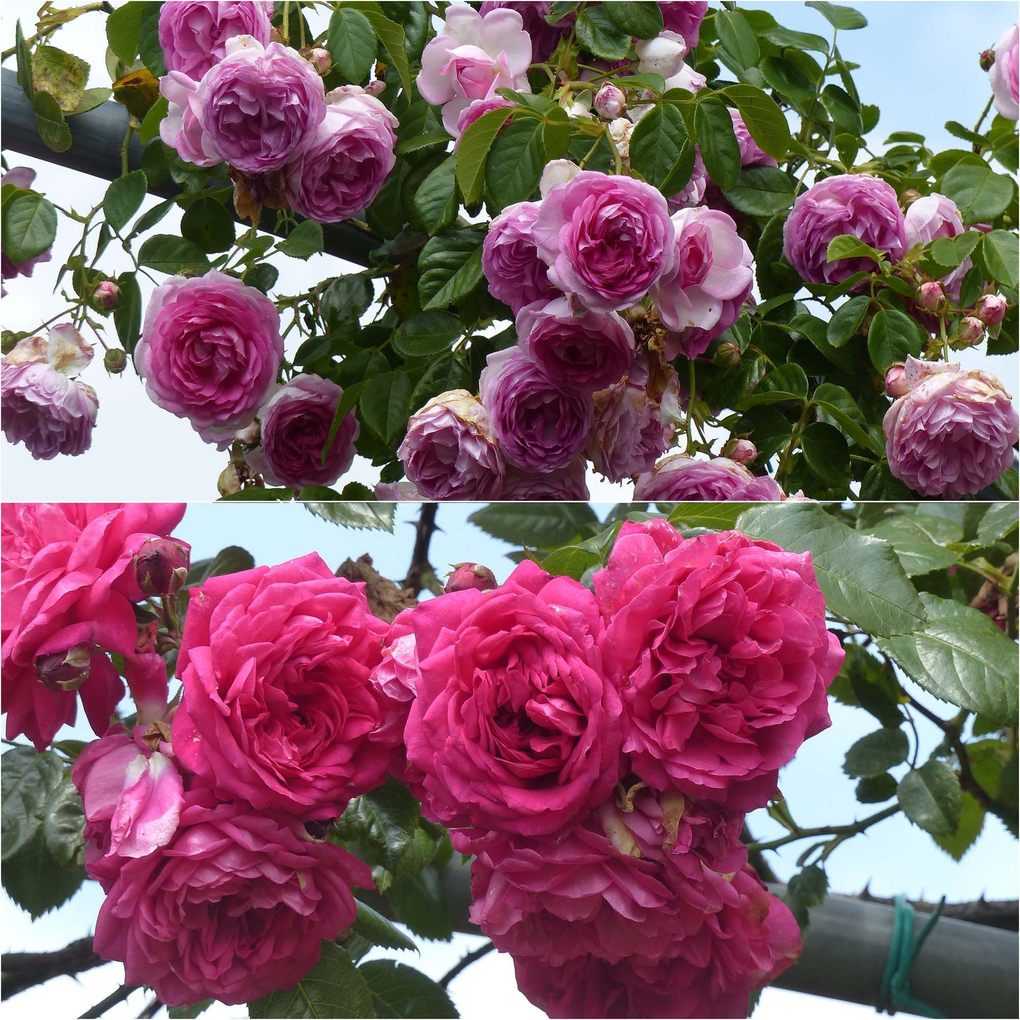 Collection 2 Rosiers grimpants roses