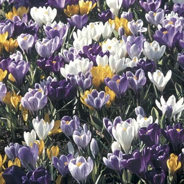 Collection 100 Crocus Grandes Fleurs Mammouth