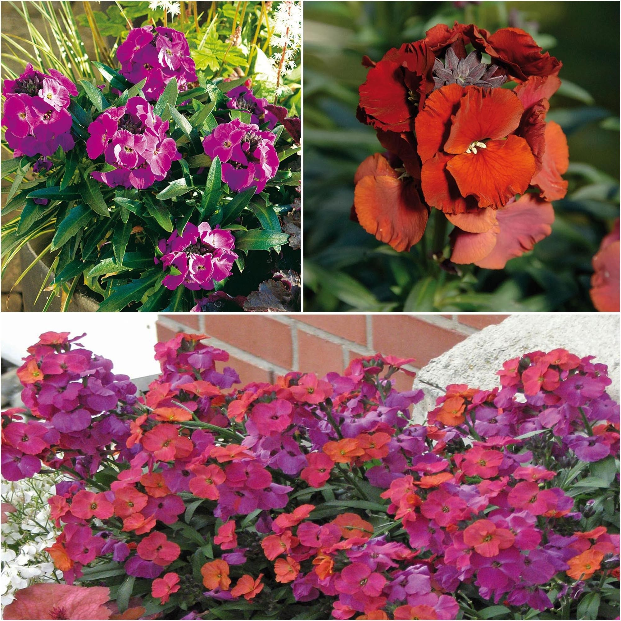 Collection de 3 Giroflées vivaces - Erysimum Winter