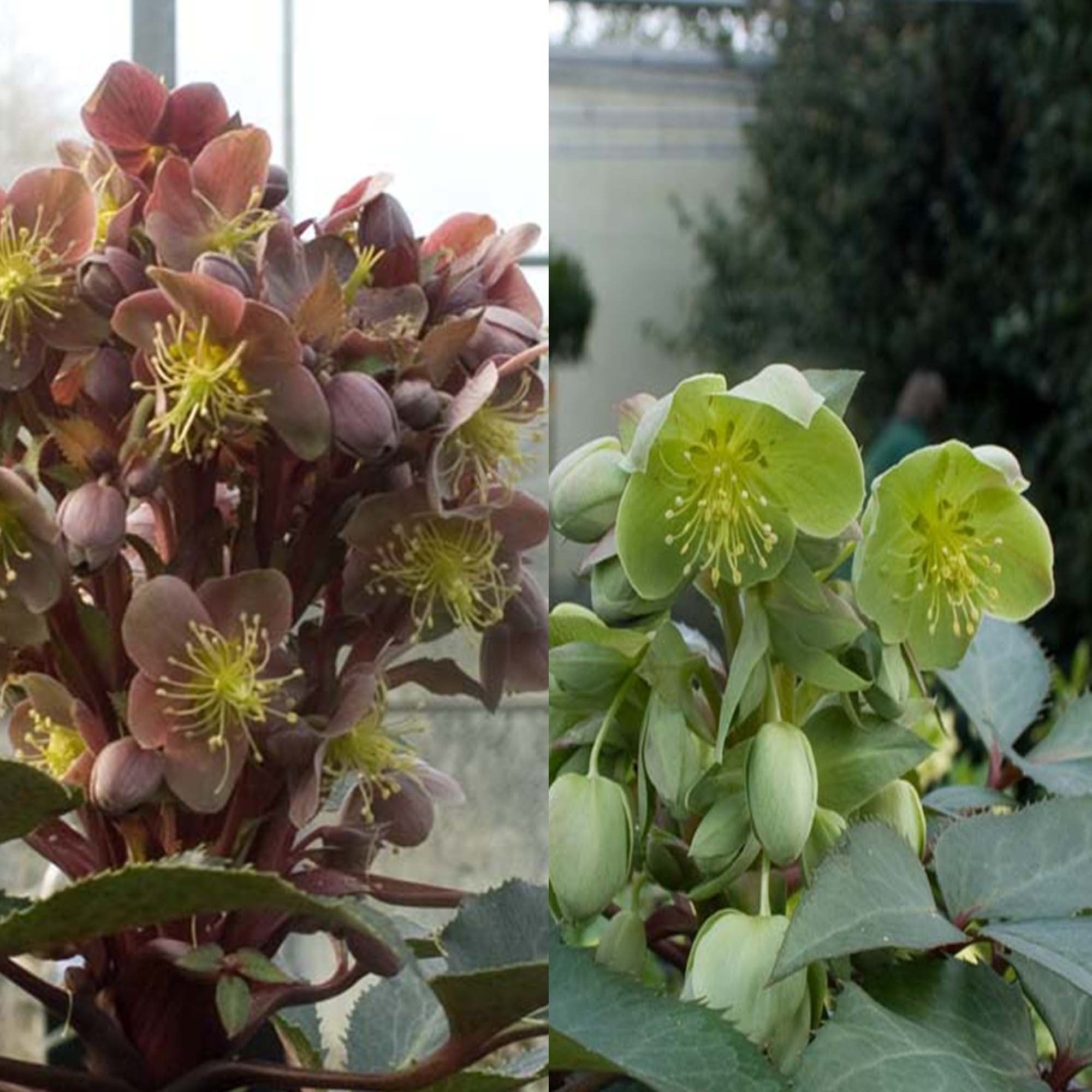 Collection Hellebores Sternii
