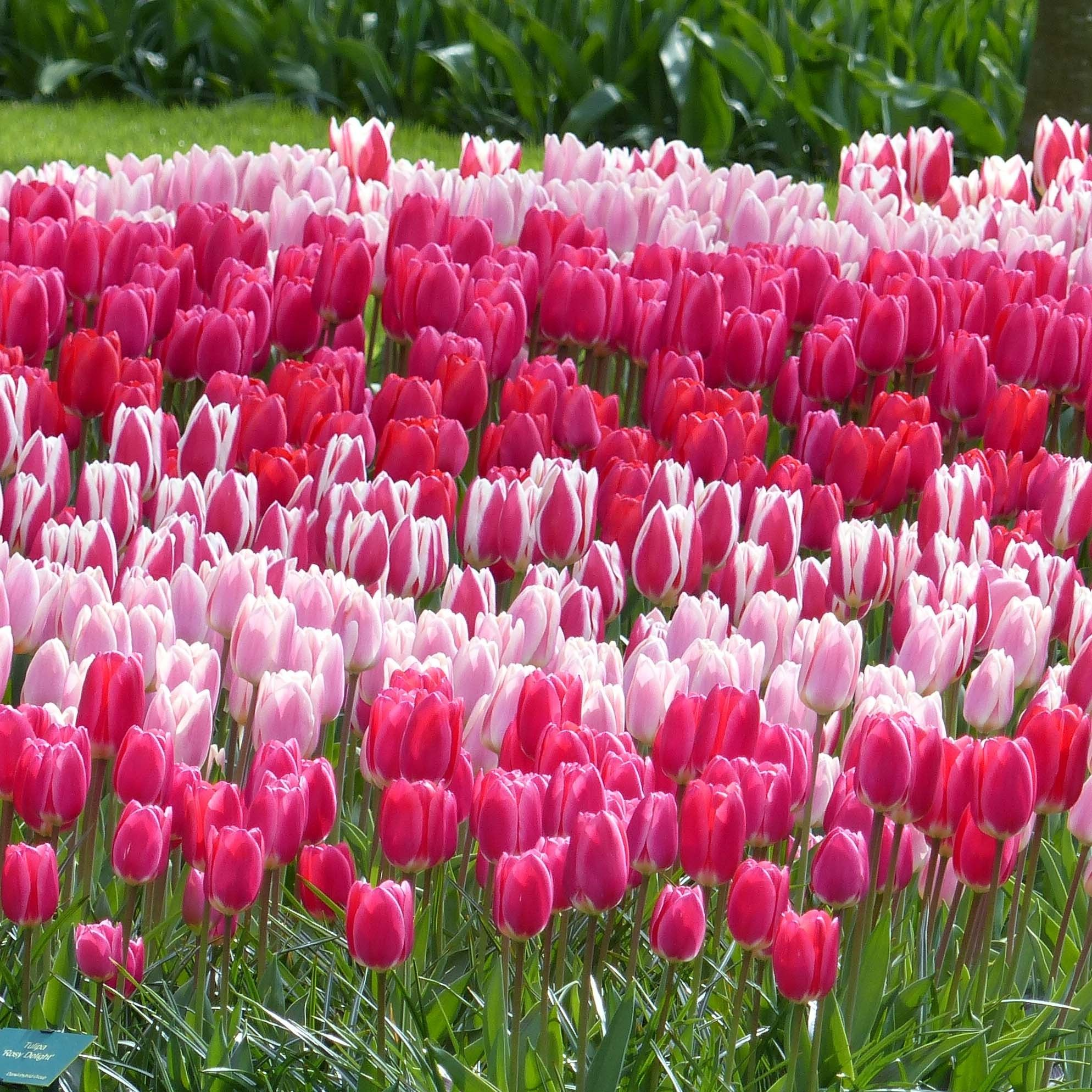 "Collection Tulipes Darwin ""Delight"""