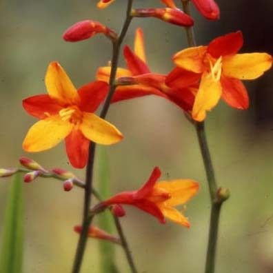 Crocosmia ou montbretia Fire King