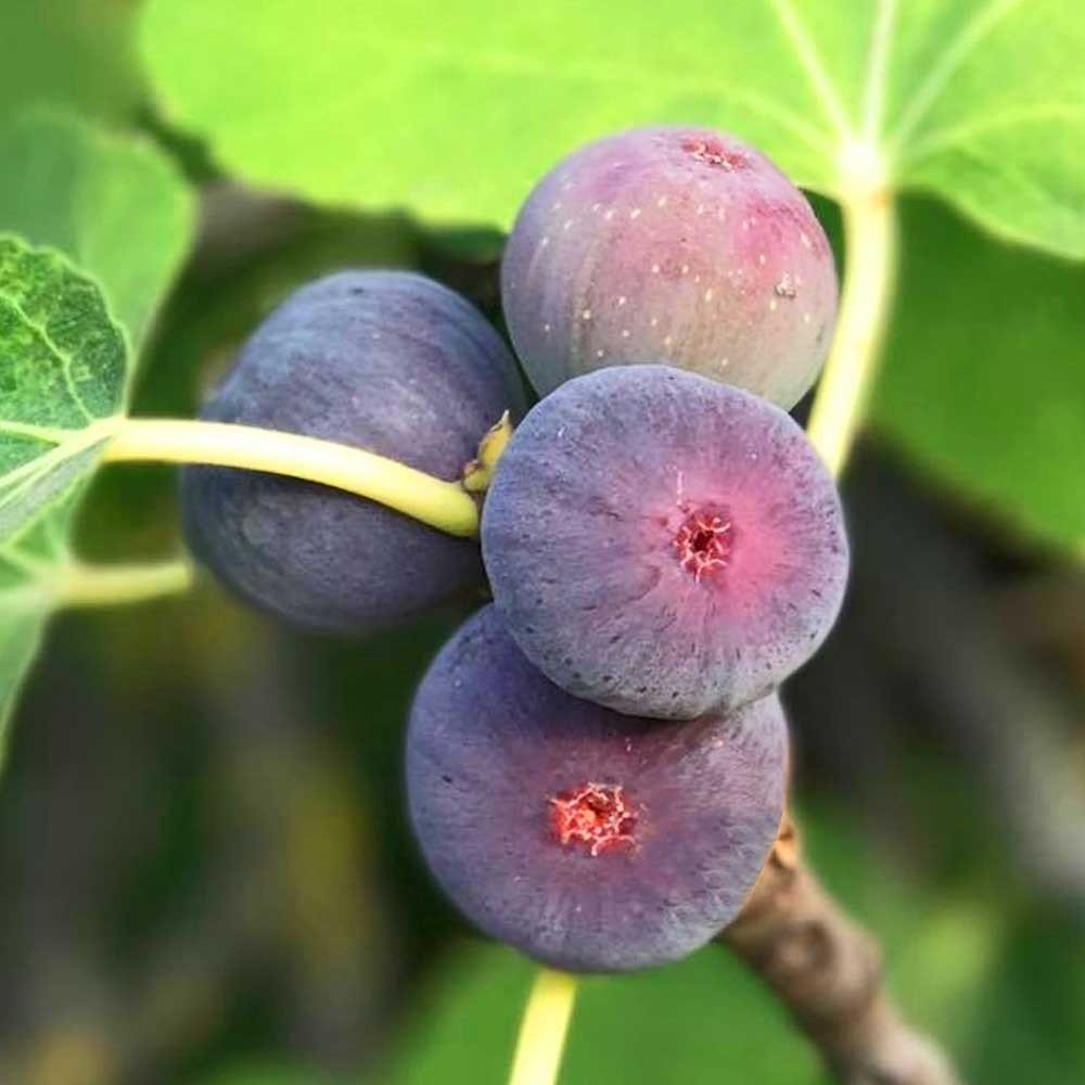 Figuier nain Figality - Ficus carica