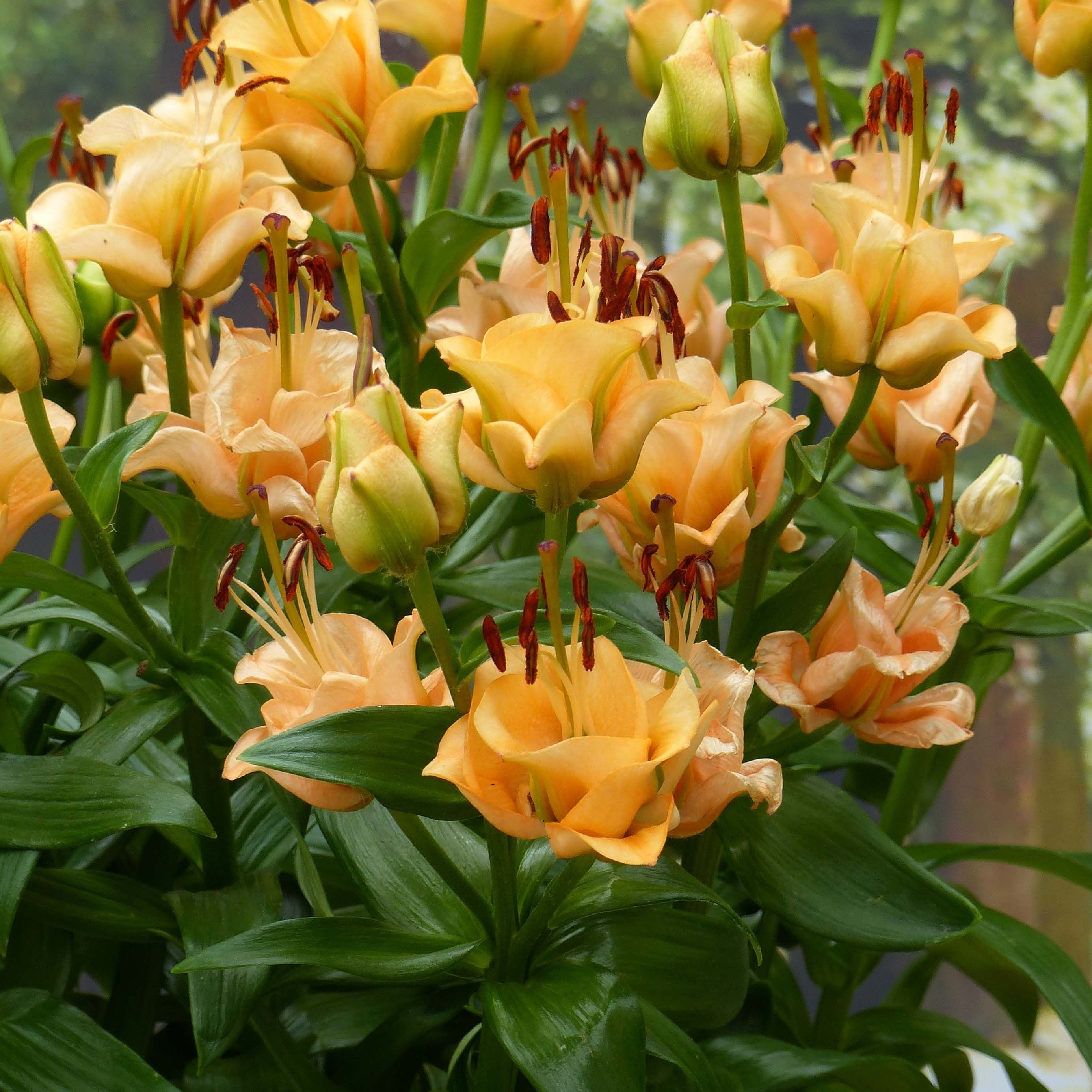 Lis double Apricot Fudge - Lilium asiaticum