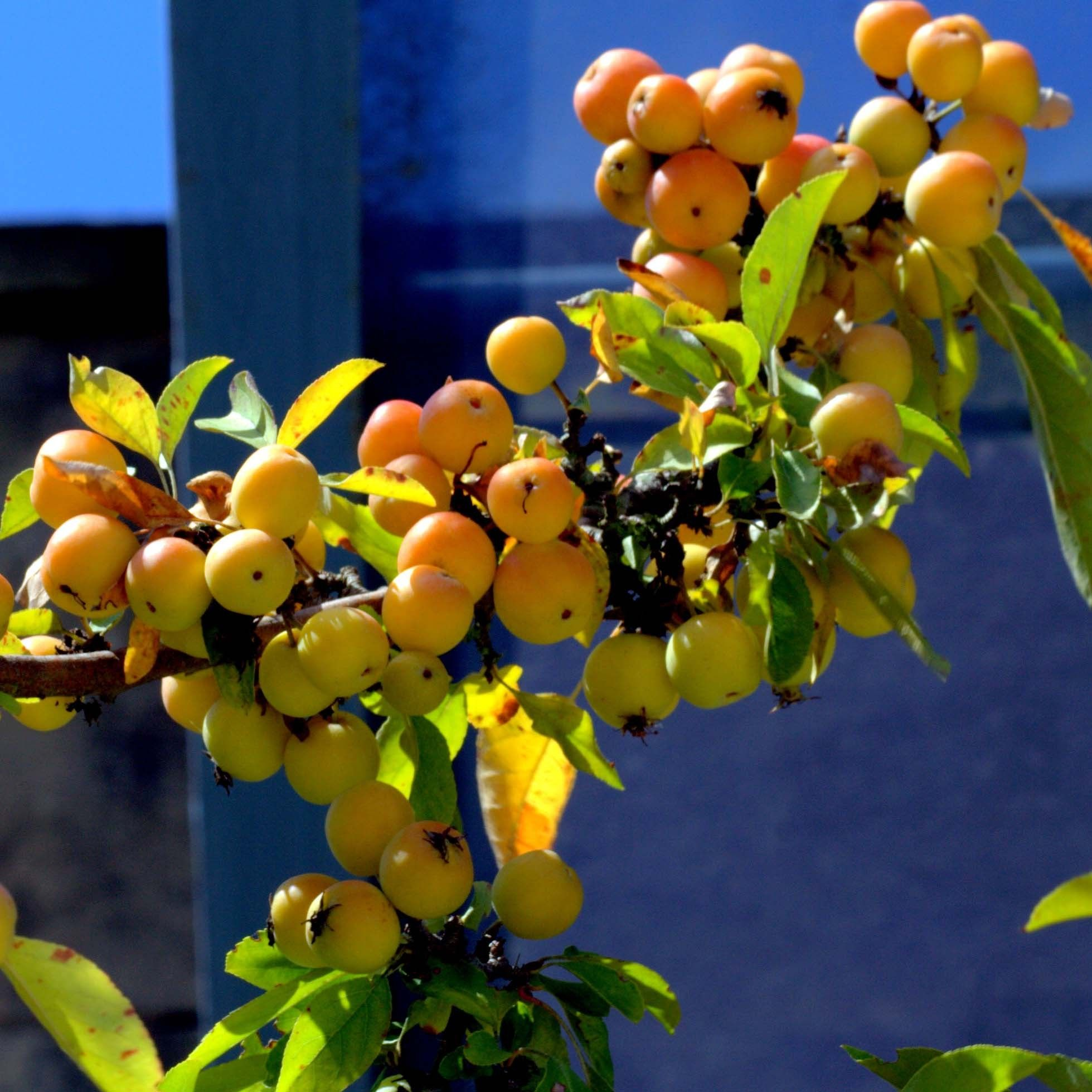 Pommier d'ornement - Malus Golden Hornet en pot de 7,5/10L 150/+