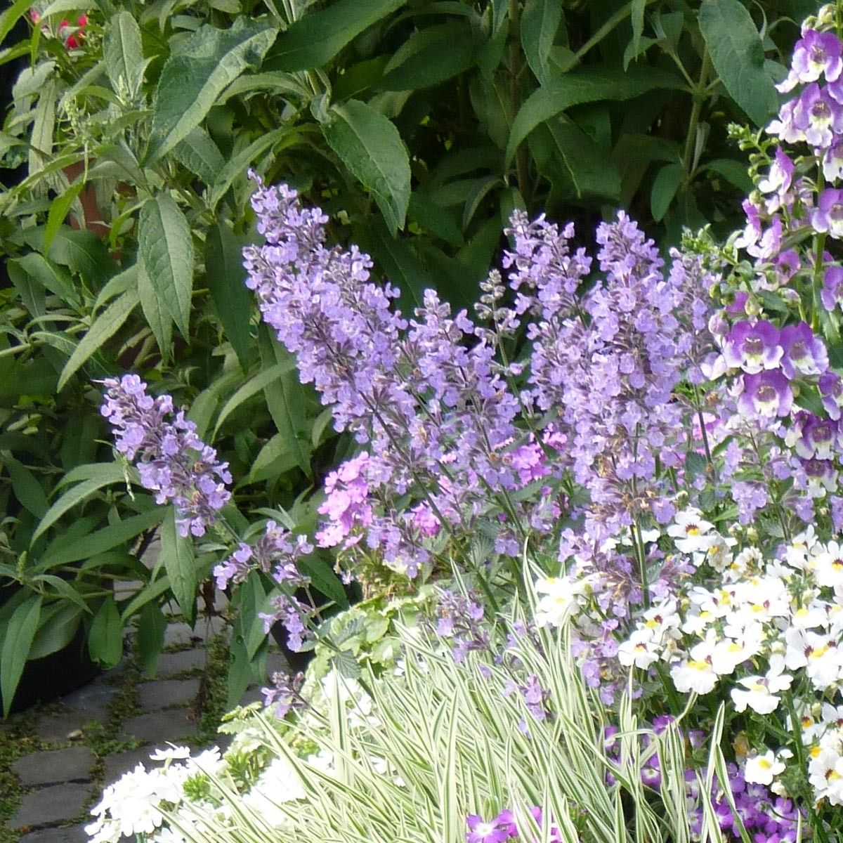Nepeta faassenii Cat's Meow - Chataire