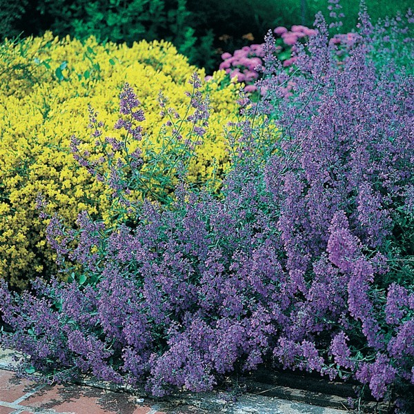 Nepeta faassenii Six Hill s Giant