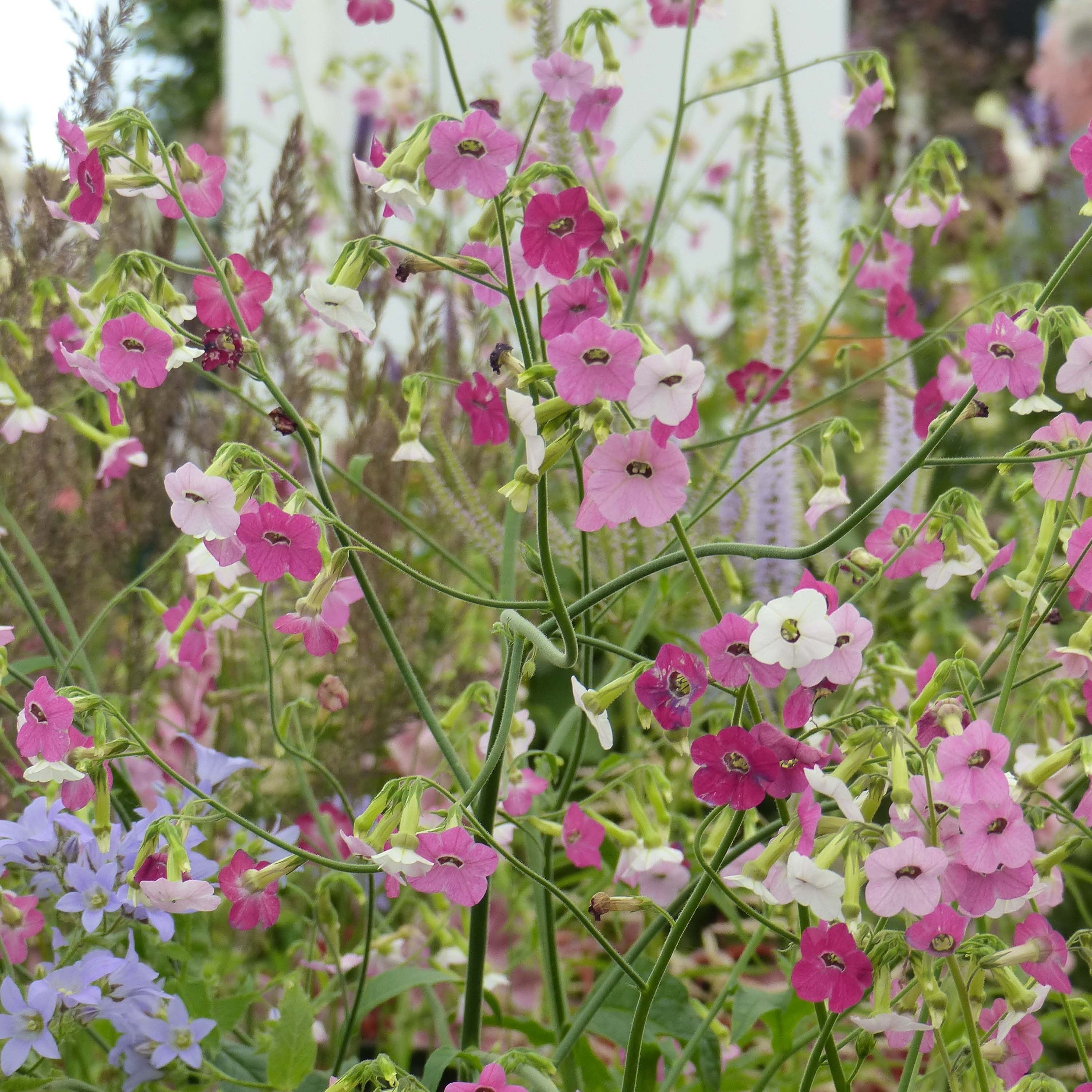Tabac d'ornement - Nicotiana Marshmallow