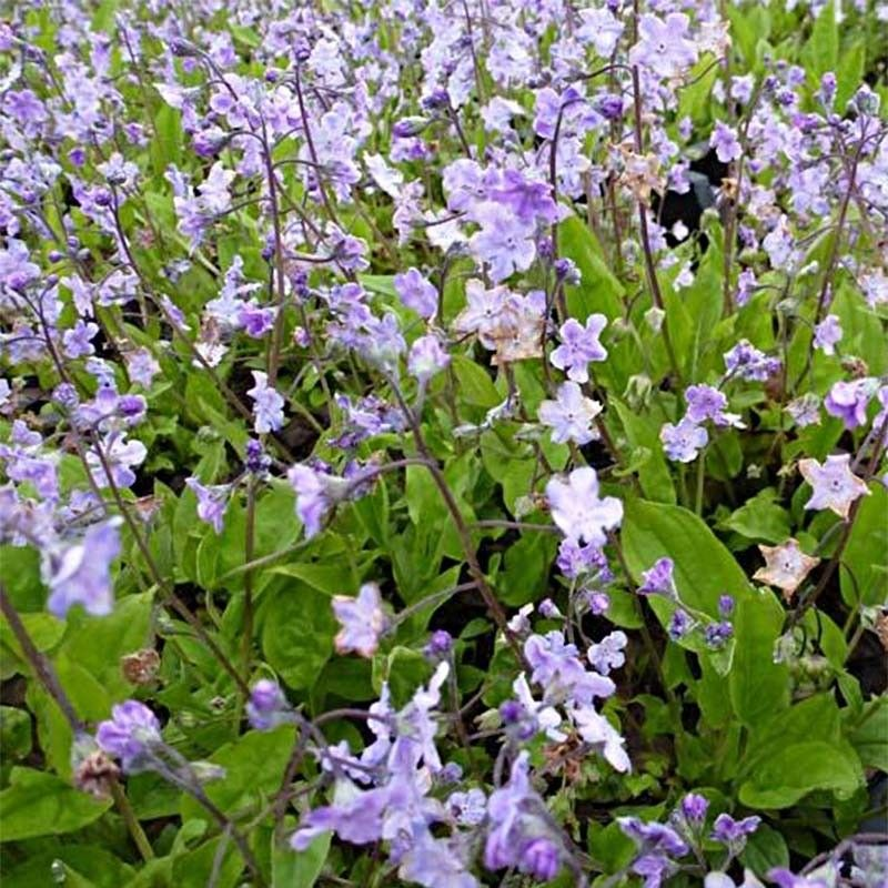 Omphalodes Cappadocica Lilac Mist
