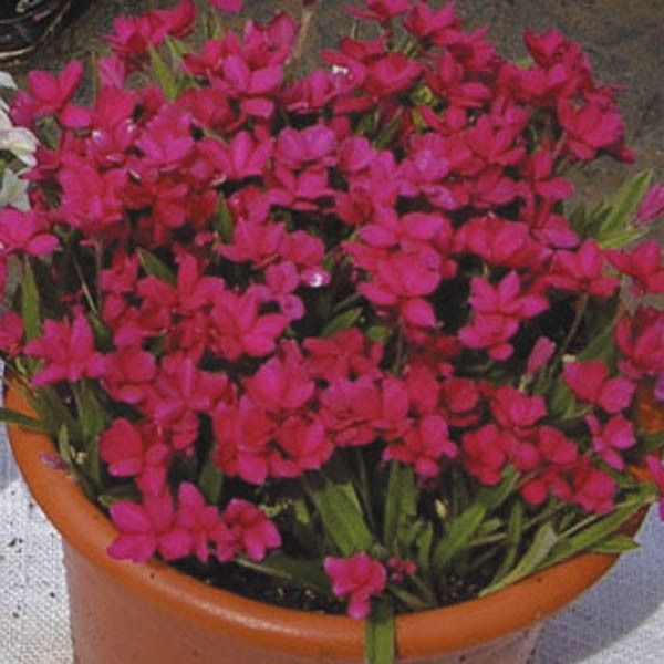 Rhodohypoxis Red King