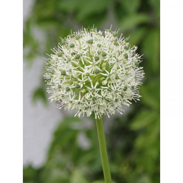 Allium Mount Everest - Ail d'ornement à fleurs en boule ...