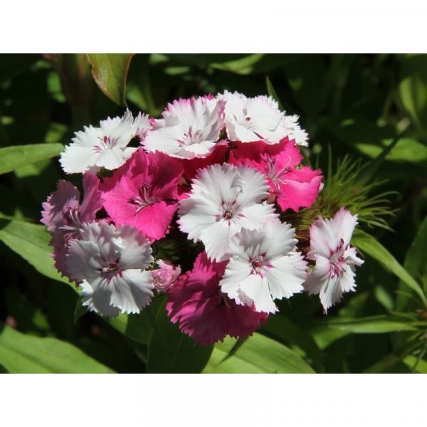 Oeillet de po te rose en m lange dianthus barbatus kaleidoscope mixed bisannuelle aux fleurs - Combien de graines de nigelle par jour ...