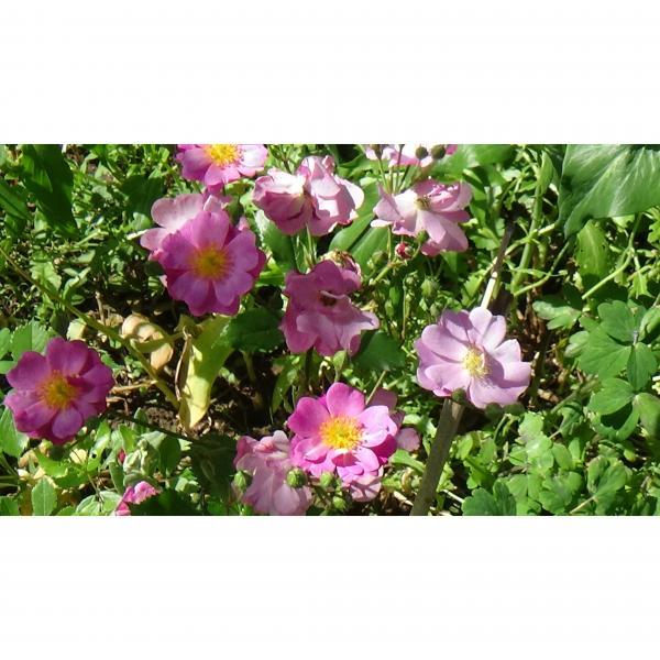 rosier arbustif lavender dream rosa lavender dream des roses parfum es. Black Bedroom Furniture Sets. Home Design Ideas