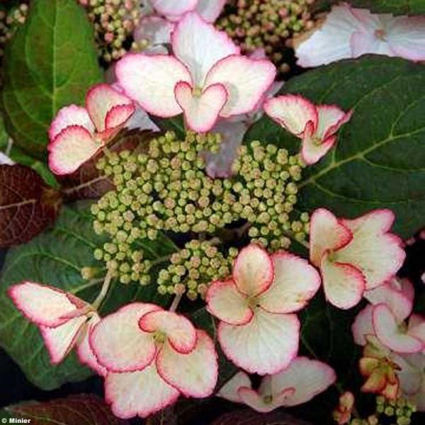 hydrangea macrophylla dolce kiss hydrangea macrophylla dolce kiss ...