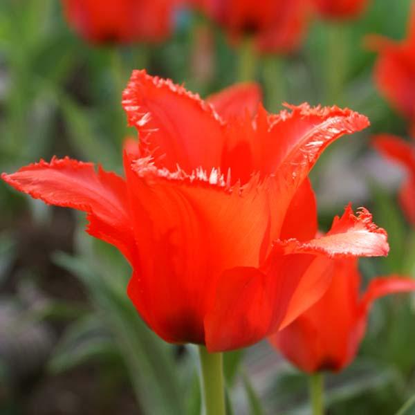 tulipe-petit-chaperon-rouge-63724-2