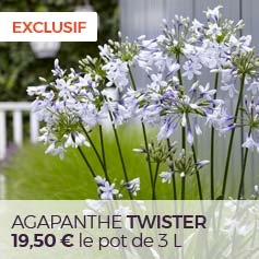 Agapanthe_Twister