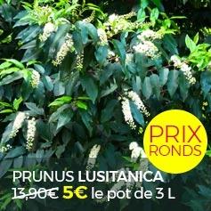 PRUNUS_LUSITANICA_LAURIER_PORTUGAL