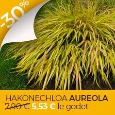 herbe-du-japon-hakonechloa-macra-aureola
