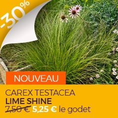 CAREX TESTACEA LIME SHINE en promo