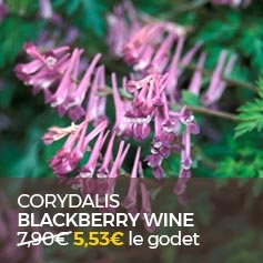 Corydalis-Blackberry-Wine