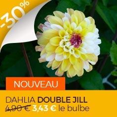 dahlia_double_jill