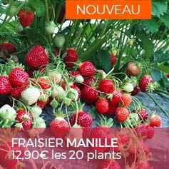 Fraisier-non-remontant-Manille