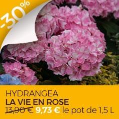 Hydrangea_macrophylla_La_Vie_en_Rose