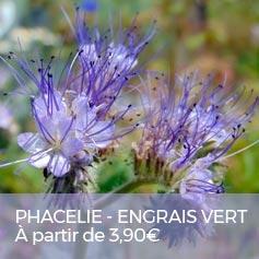 Engrais-vert-Phacelie