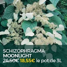 SCHIZOPHRAGMA_MOONLIGHT