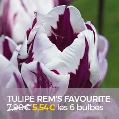 Tulipe-Rem-s-Favorite