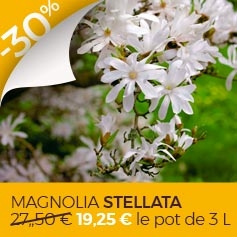 magnolia stellata pas cher