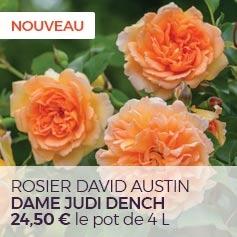 Rosier David Austin Dame Judi Dench
