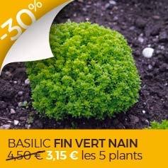 basilic-fin-vert-nain-compact-bio-ocimum-basilicum