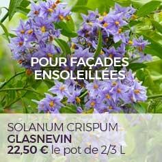 Solanum_crispum_Glasnevin