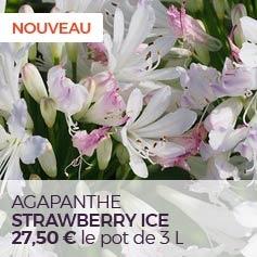 Agapanthe Strawberry Ice