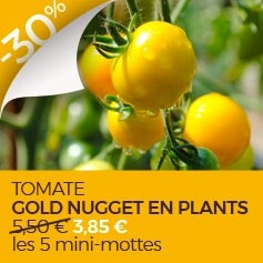 Tomate Gold Nugget en plants