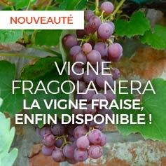 vigne-fragola-nera-vitis-vinifera