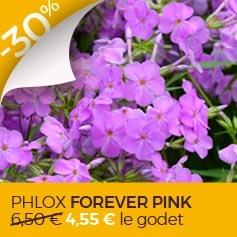 phlox forever pink en promo