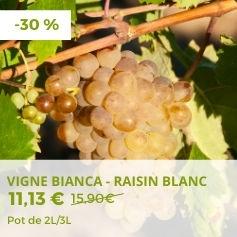 Vigne Bianca - Raisin blanc