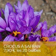 crocus-sativus-crocus-a-safran