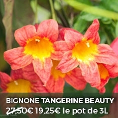 bignone tangerine beauty
