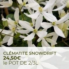Clematis armandii Snowdrift