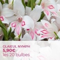 Glaieul ou Gladiolus colvillei Nymph